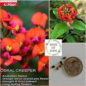 10 CORAL CREEPER SEEDS (Kennedia coccinea); Profuse flower, Australian native
