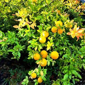Poncirus Flying Dragon winterharte Orange Orangen Baum minus -25- Grad -77