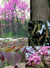 Eastern Redbud.  100 seeds.   trees, seeds