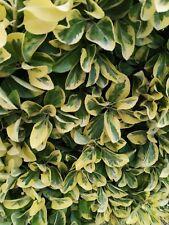 5 PZ Euonymus Aurea Pianta da Siepe arredo giardino  - vaso 7 - Euonimus
