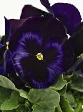NEW! 30+ PANSY INSPIRE BLUE PLUS FLOWER SEEDS / FRAGRANT PERENNIAL
