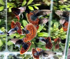 Guppy Leopard Ribbon 10 X Live Fish Male&Female Aquariums Guppies Pet