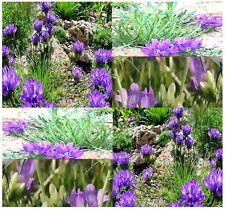 (20) GRASSY BELLS GRASS SEED - Edraianthus tenuifolius - Rock Garden Lawn Border