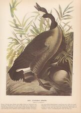 "1942 Vintage AUDUBON BIRDS #201 ""CANADA GOOSE"" LOVELY Color Art Plate Lithograph"