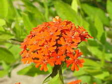 300 CAMPION / MALTESE CROSS / LYCHNIS Red Orange Seeds