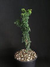 Rare dwarf Hinoki Cypress-Chirimen Bonsai Tree
