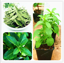 200 Pcs Seeds Stevia Bonsai Herbs Green Herb Rebaudiana Semillas Garden New 2020