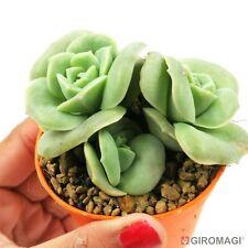 Echeveria 'Lovely Rose'  エケベリアPOTØ6,5cm-GIROMAGI Cactus & Succulent Plants
