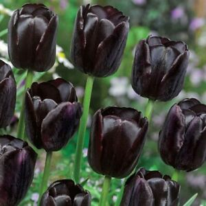 Tulip Queen of the Night - 20 large bulbs size 12+