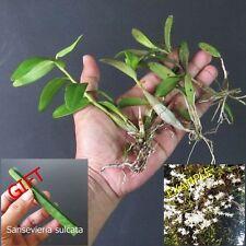 3 Colonies Dendrobium Crumenatum Orchids Species Plant + FREE GIFT