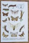Schmetterlinge Butterflies Insekten - Alter Farbdruck 1912 Druck Bild Tafel 11