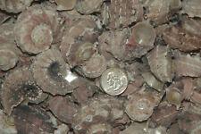 "100 Pink Delphinula Hermit Crab Seashells- 1"" To 2"""