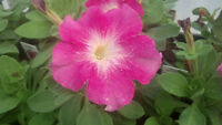 50 Pelleted Petunia Seeds Celebrity pink Morn Seeds