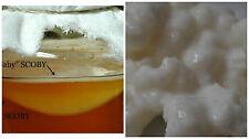 """3"""" Live KOMBUCHA FRESH SCOBY W/ Starter Tea -KEFIR GRAINS 1/2 tsp Combo"""