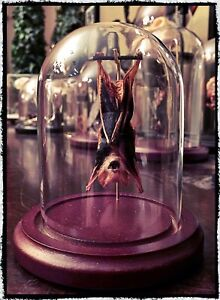 Small Hanging Bat In a Glass  - Taxidermy, Oddities, Macabre, Occult, Witchcraft