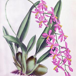 MESOPINIDIUM VULCANIUM - 1888 HAND-COLORED FITCH / WARNER ORCHID