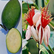 Feijoa sellowiana Acca Pineapple Guava Goyave Ananas Guave shrub EDIBLE 20 seeds