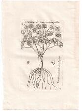1598 [1796] Richer de BELLEVAL BW print Ranunculus Glacialis