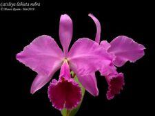 Cattleya labiata rubra 13 bulbs 2 new shoots 15 x 35 cm N.B.S.