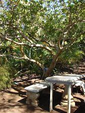 Allahabad Guava (psidium guajava) 5 Reliable Viable Seeds