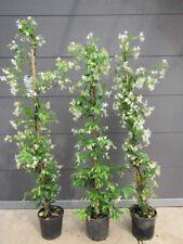 Trachelospermum jasminoides - duft Sternjasmin - Pflanze 150-170cm  Frost  -15°C