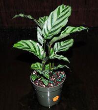 "Prayer Plant~Calathea concinna 'Freddie' 4"" Pot Full Easy Tropical Houseplant"