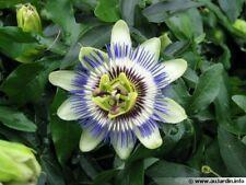 PASSIFLORE Fruit  de la passion 1 plante avec raçines ! planter en automne