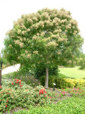 Himalayan Evergreen Flowering Ash 100 Seeds Small Tree
