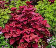 Coleus Solenostemon 'Wizard Velvet Red' Fresh 30 Seeds