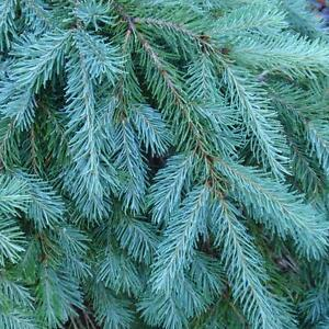 Blue Douglas Fir, Pseudotsuga menziesii glauca, Tree Seeds (Fragrant Evergreen)