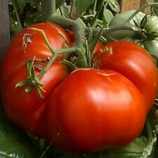 Giant Tomato - BIG ZAC -10 Heirloom Vegetable Seeds-Biggest Competition