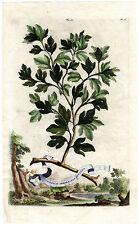 Antique Print-PL 20-SASSAFRAS ALBIDUM-WHITE-Munting-1696