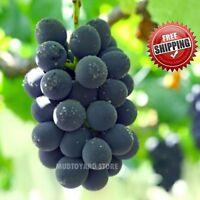 50pcs Sweet Japanese Dwarf Kyoho Grape seeds Vitis labrusca Purple wine grapes