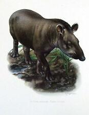 Impression Affiche papier Histoire Naturelle le Tapir Terrestre Tapirus terrestr