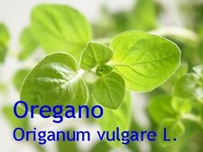 ***Oreganoöl, Origanumöl (Origanum vulgare L.) 20ml, naturrein - Topp-Qualität!!
