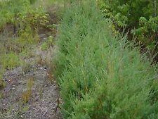 """Red Cedar Juniperus Virginiana 6-12"""" Lot Of 4"""