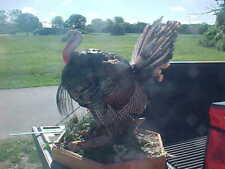"Mounted Full Body Wild Tom Turkey Taxidermy Mount Life Size 36"""