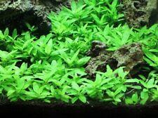 *Buy 2 Get 1 Free* Staurogyne Repens Clump S. Repens Live Aquarium Plants ✅