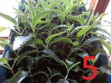 Kalanchoe Daigremontiana Calanchoe 5 plants 4inches 10cm tall plantas Gift