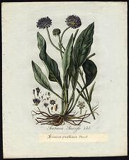 Antique Print-SCABIOSA SUCCISA-DEVIL'S-BIT-Sepp-Flora Batava-1800