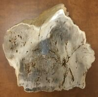 "Petrified Wood, 6 ¼"", Pacific Northwest, One Side Polished, Very Nice"