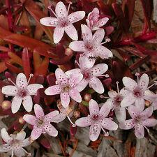 Myoporum parvifolium purpurea ( Creeping Boobialla ) native plant in 50mm pot