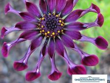 10Pcs Rare African Osteospermum Purple Daisy Flower Seeds Genuine Viable UK Stoc