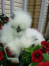 """10 + Bearded Silkie Hatching Eggs Assorted Colors from color separate pens """"NPIP"""