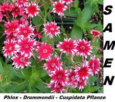 15x Phlox Drummondii Cuspidata Garten Blumen Samen Pflanze selten Garten #205