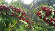 Best New Of  British Columbia Lapin Sweet Cherry Tree Plant 10 Seeds.