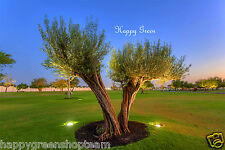 Olive tree-olea europea - 25 graines-excellent pour bonsai