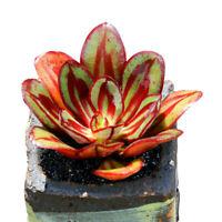 Succulent Live Plant - Echeveria Nodulosa 'MARUBA 5cm -Garden Lovely Rare Plant
