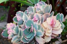 Kalanchoe fedtschenkoi variegata 6cm biopot