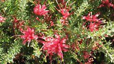 Grevillea hirtella in 50mm forestry tube Native Plant